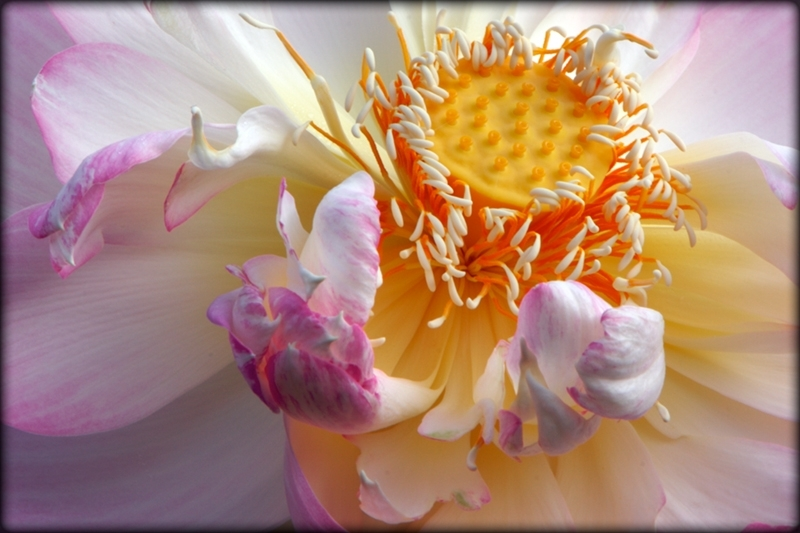 Sacred lotus blossom fading