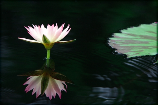 Water lily at the Missouri Botanical Garden