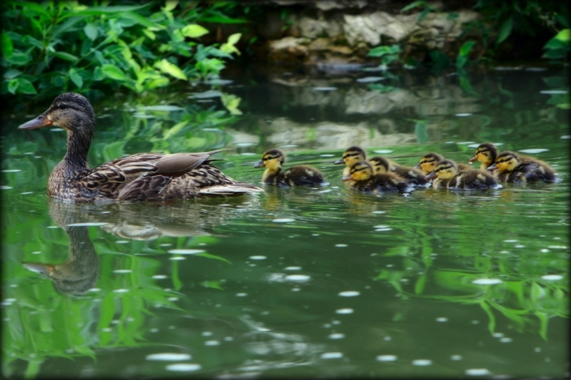 Ducklings in Forest Park