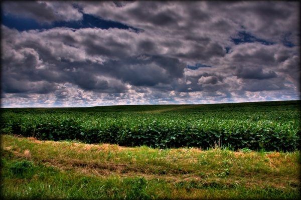 Field of soy beans in Southern Illinois