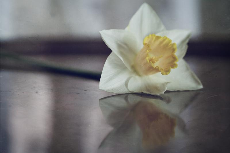 Daffodil ii