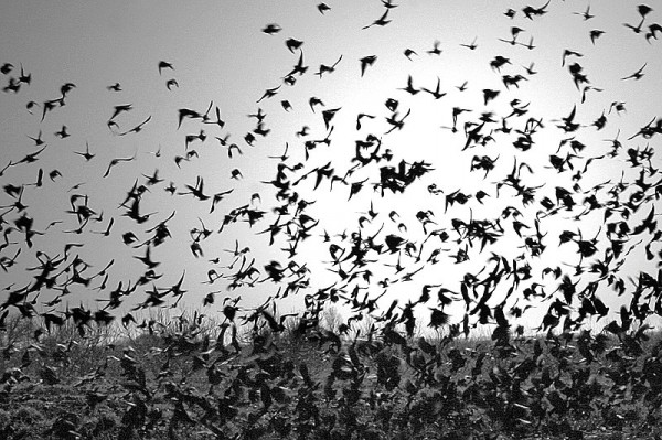 Blackbirds Take Flight