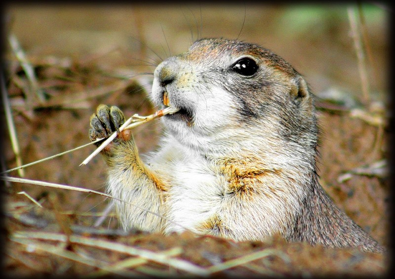 prairie dog eating a piece of grass