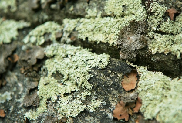 macro picture of tree bark and lichens