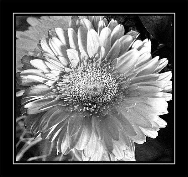 photo of a daisy in black and white