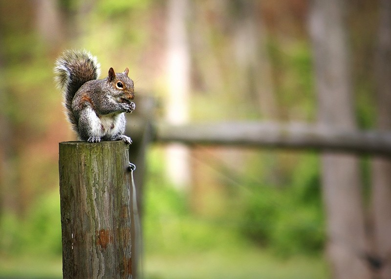 squirrel eating nuts on a fence