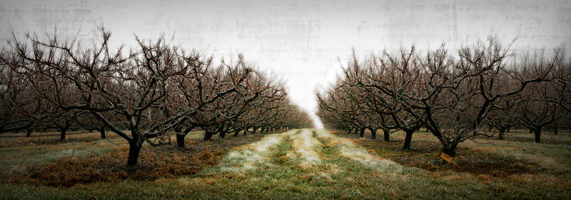 icy orchard in winter