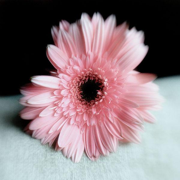 soft pastel daisy