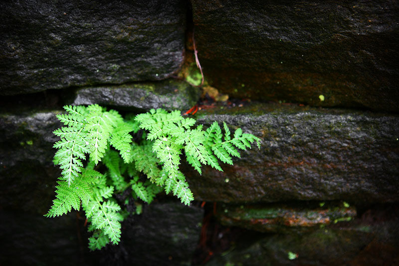 fern and a stone wall