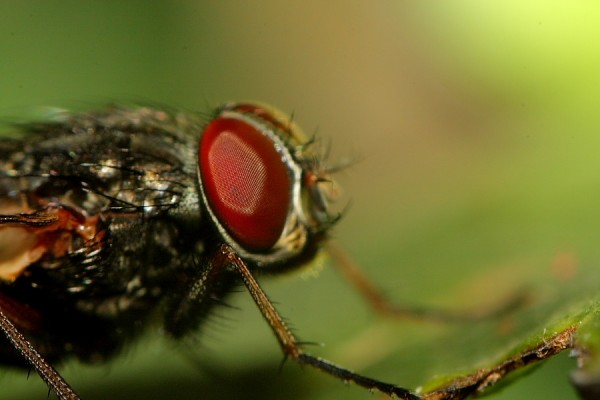 Mirada de mosca