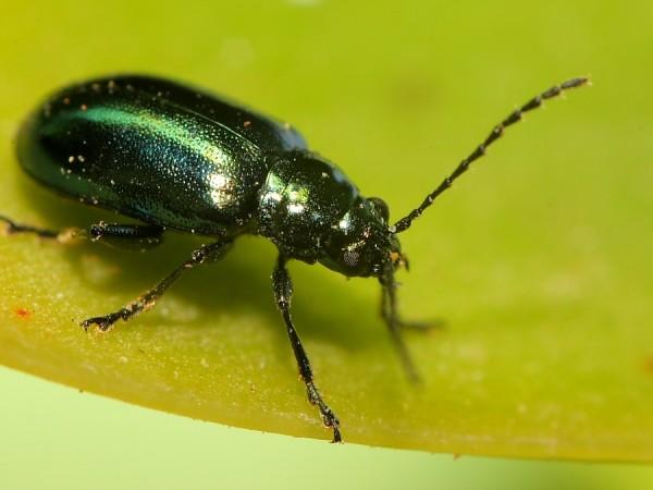 Mirada d'escarabat