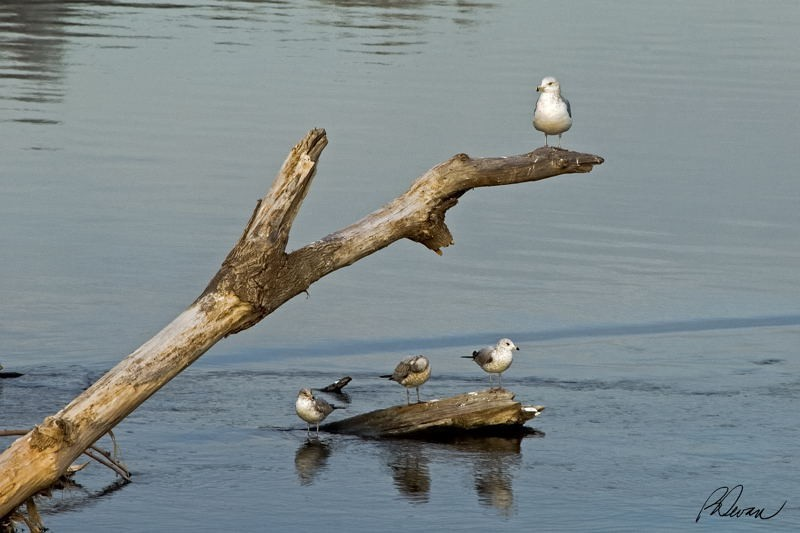 Ring-billed gulls on driftwood in Schuylkill River