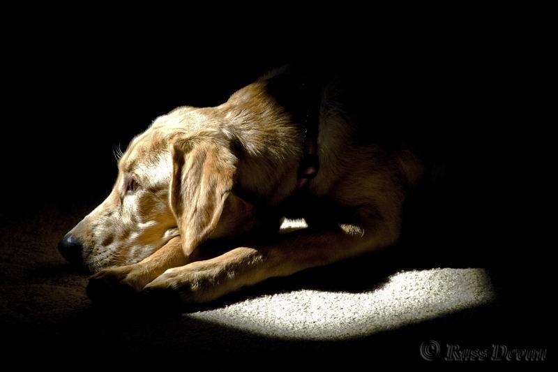 labrador retriever puppy laying in sunspot