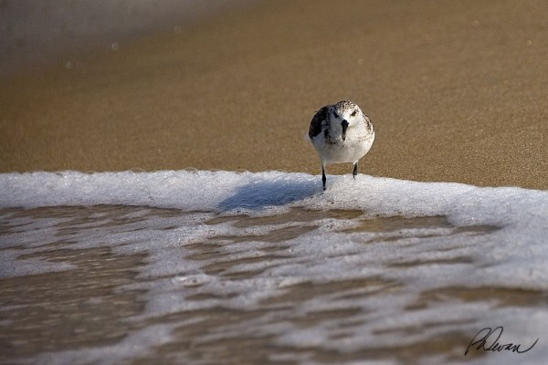Sanderling in the surf looking at the camera
