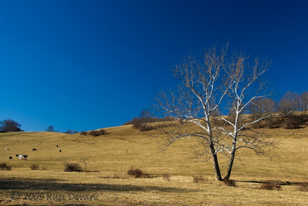 Sycamore Tree, Unionville, Pennsylvania
