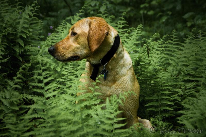 Yellow labrador retriever sitting in ferns