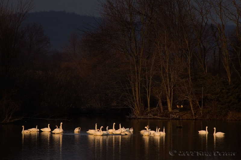 Tundra Swans on Middle Creek Lake