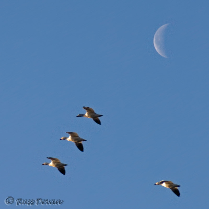 Snow Geese and Waning Crescent Moon