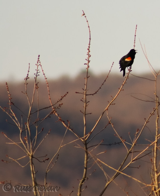 Red-Winged Blackbird, Middle Creek