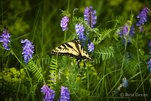 Tiger Swallowtail Butterfly on Crown Vetch