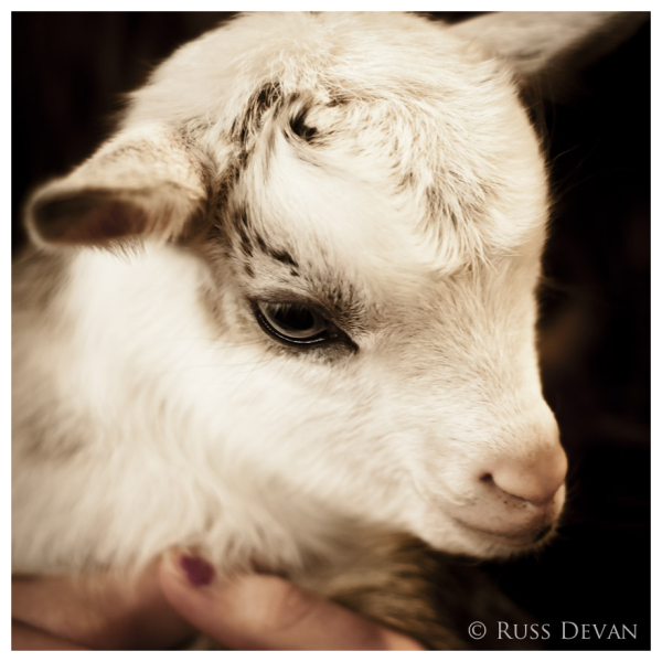 Closeup of a kid goat