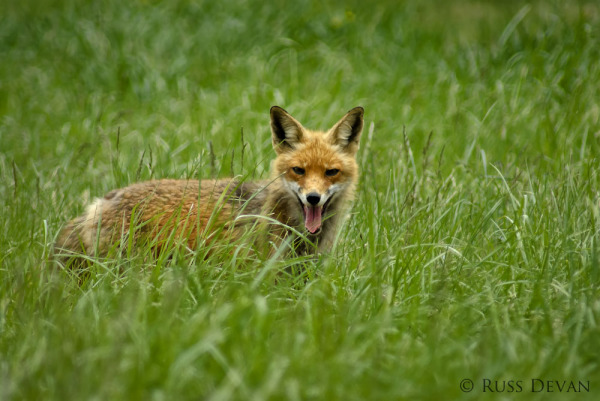 Red Fox (Vulpus vulpus)