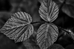 Blackberry Leaves (Rubus fruticosus)