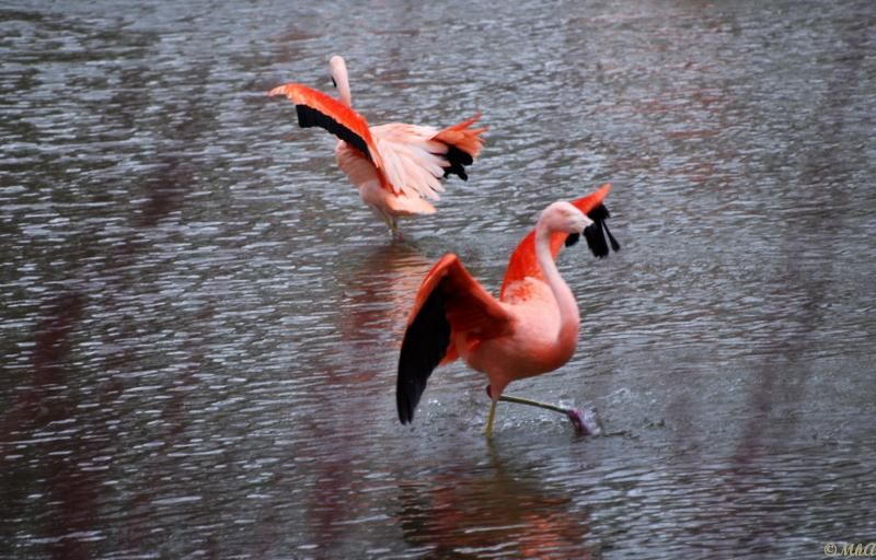 Chacun pour soi / Every flamingo for himself