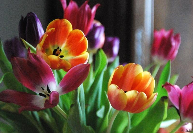 Tulipes 1