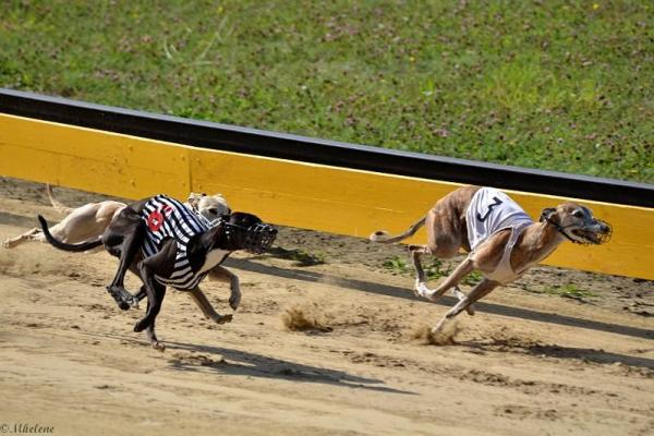 Whippets et Greyhounds