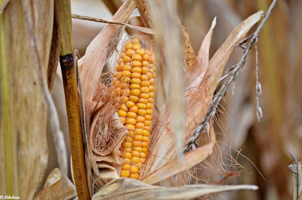 Le maïs en novembre