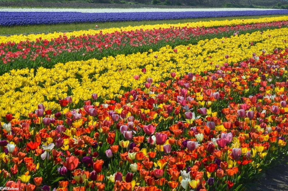 Les champs de fleurs de Tronoën -1
