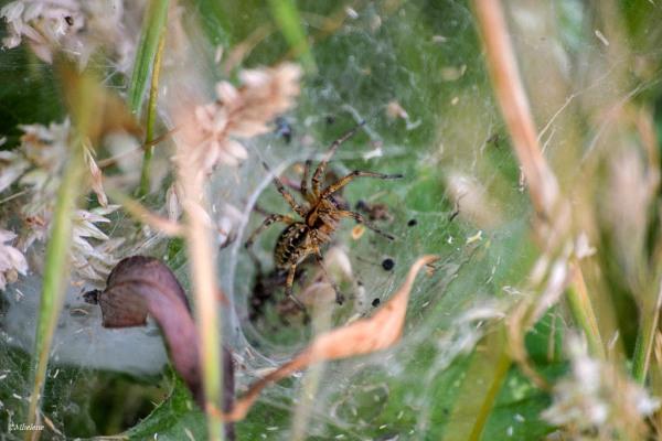 L'araignée dans son nid