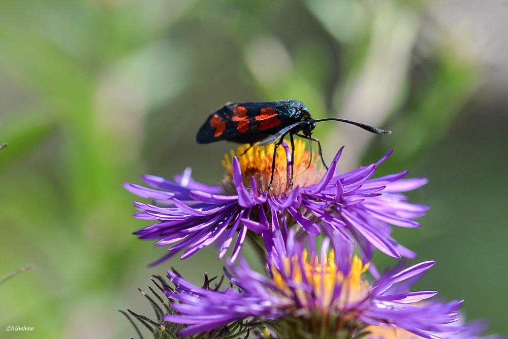 sur les fleurs de septembre 3 animal insect photos mhelene photoblog. Black Bedroom Furniture Sets. Home Design Ideas