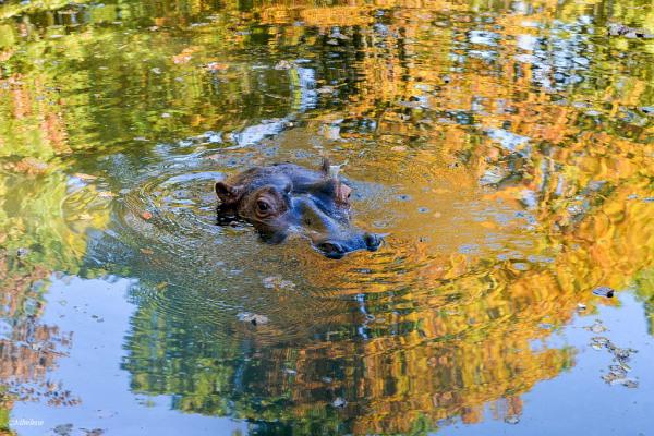 Délices d'automne de l'hippopotame 2