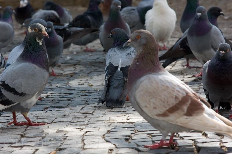 Pigeon, Sintra, Portugal