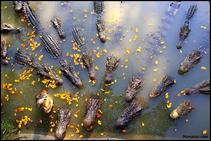 Crocodile (Bangkok)