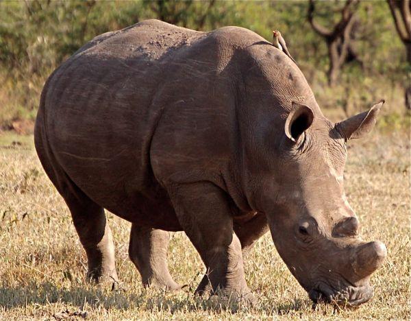 White rhino and oxpecker, Kigio Conservancy, Kenya