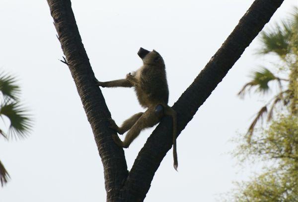 Baboon climbing a doum palm, Meru NP, Kenya