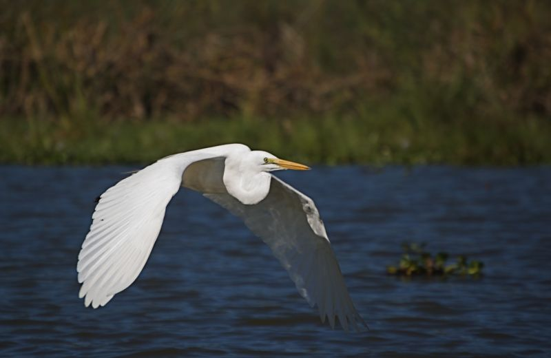 Yellow-billed egret, Lake Naivasha, Kenya
