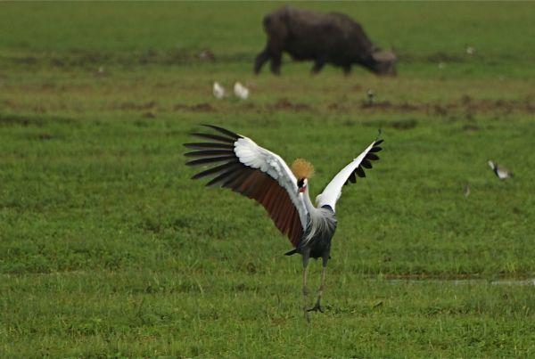 Male crowned crane at Amboseli NP, Kenya