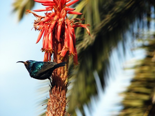 Sunbird in the Sun