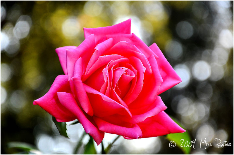 The Rose..