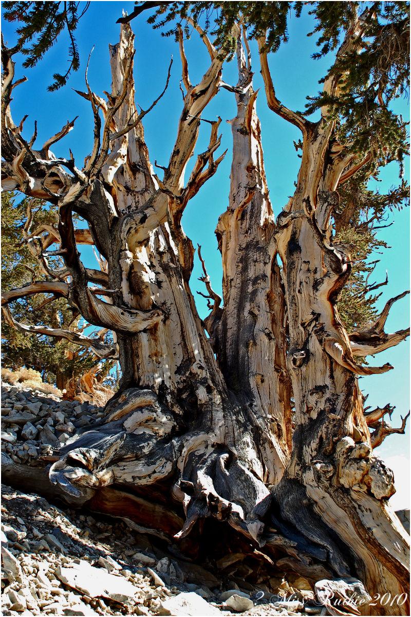 Bristlecone Pine Tree...