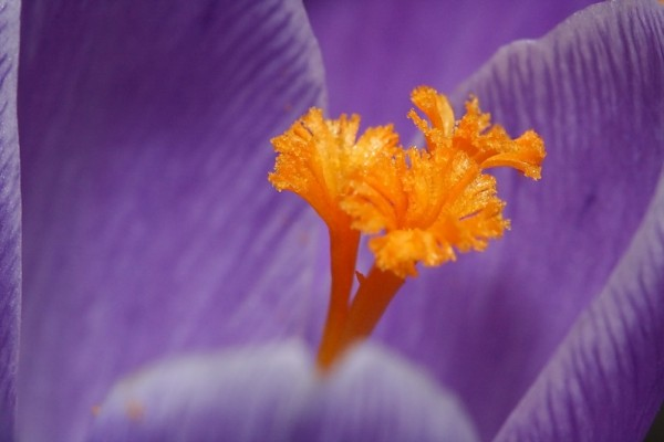 Crocus bloom closeup