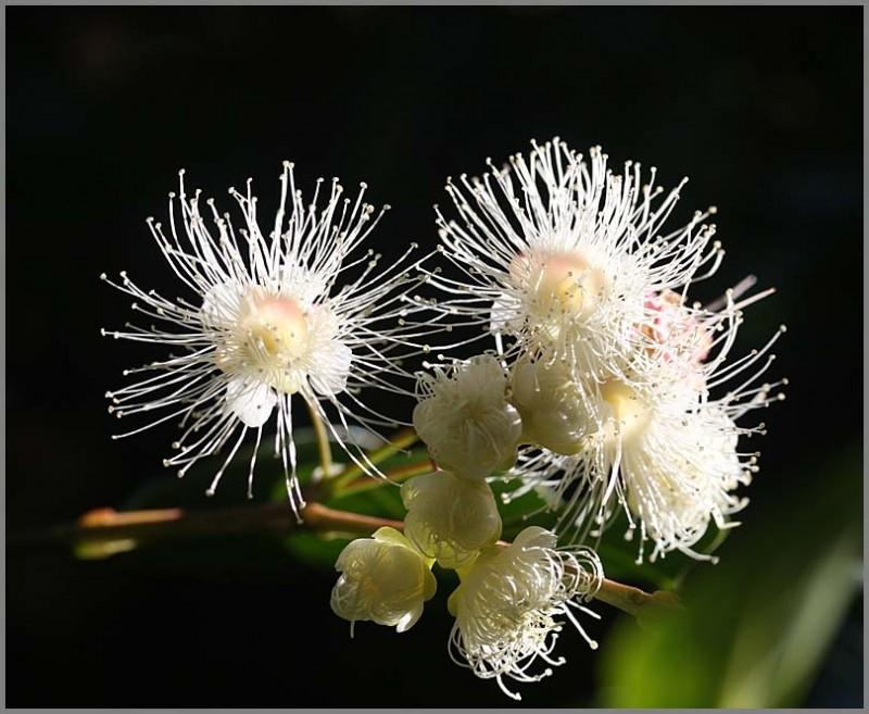 flowers eugenia stamens macro