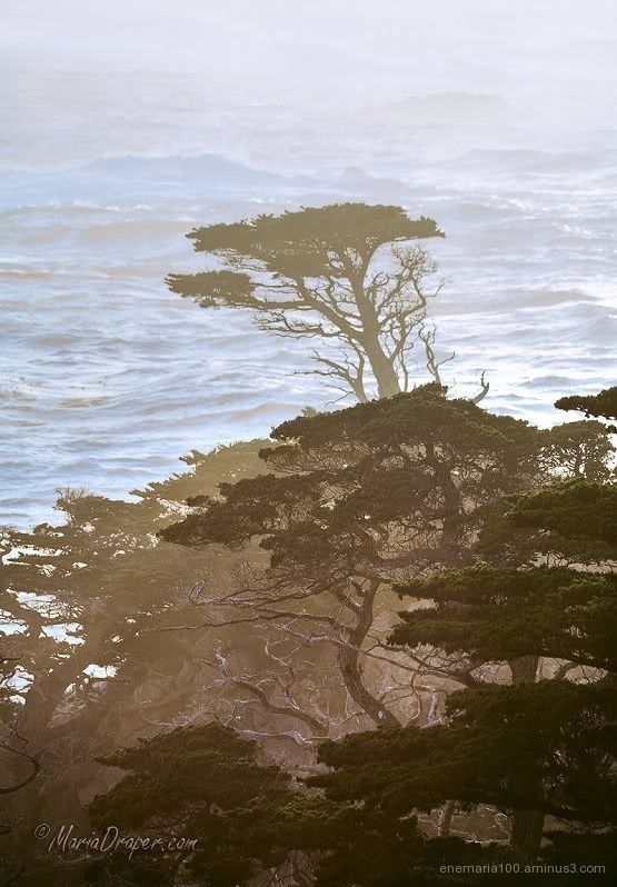 Cypress Trees at Point Lobos