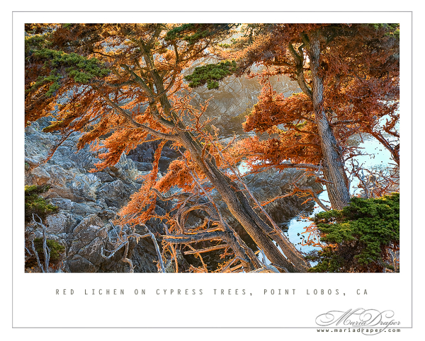 Glowing Red Lichen on Cypress Trees, Point Lobos