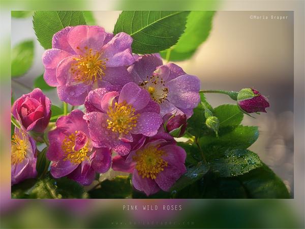 Wild Roses?