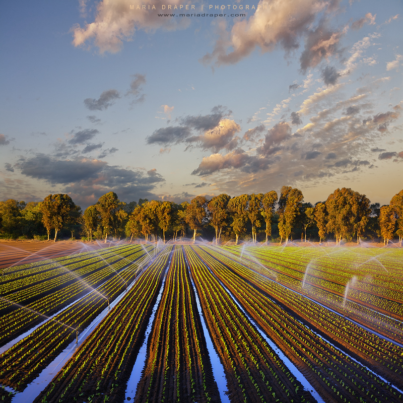Lettuce Farm, Salinas, California